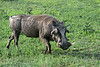 Handsome guy!<br /> <br /> One good-looking warthog, Ngala, South Africa