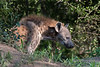 Juvenile-spotted-hyena-near-its-den,-Ngala,-South-Africa