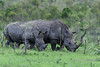 Two white rhinos and a tick bird, Ngala South Africa