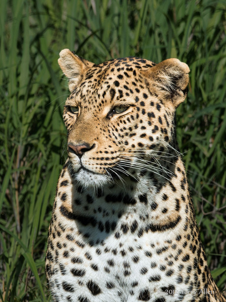 Wild leopard portrait, Ngala, South Africa