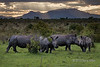 A crash of rhinos at sunset and the Drakensberg Mountains-1, Ngala, South Africa