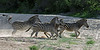 Zebras-running-across-dry-river-bed-kicking-up-sand-1