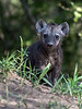 Spotted-hyena-pup,-Ngala,-South-Africa<br /> <br /> A very young pup, nervously exploring the environment near its den