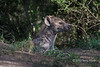 Juvenile-spotted-hyena-at-its-den,-Ngala,-South-Africa