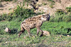 Spotted-hyena,-Ngala,-South-Africa