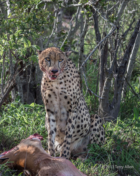 Cheetah-with-overstuffed-stomach-taking-a-break-from-feeding-on-an-impala,-Ngala,-South-Africa<br /> <br /> The rest of the carcass will now go to feed the jackels and their pups, the vultures, hyenas and other animals