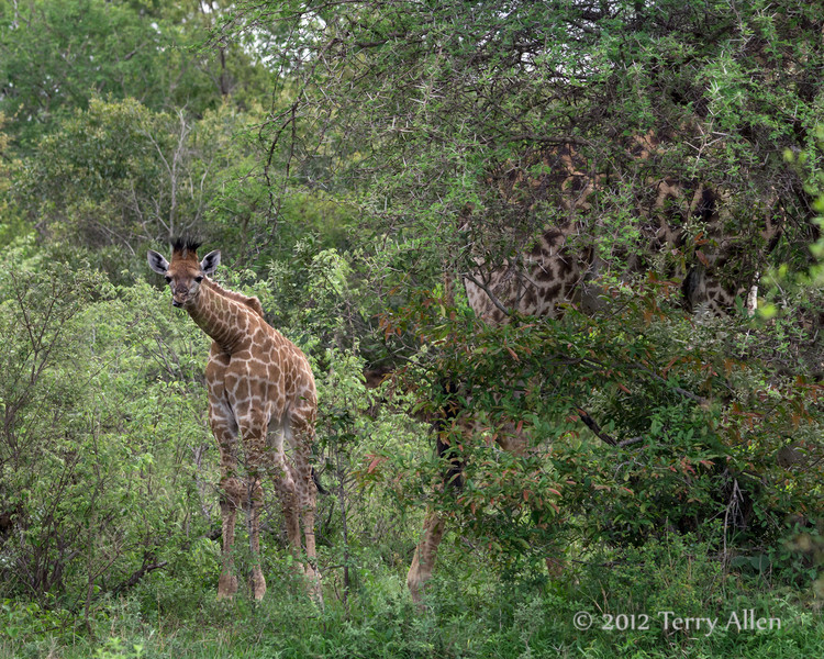 Baby-giraffe-with-mom-visible-through-the-bushes,-Ngala,-South-Africa