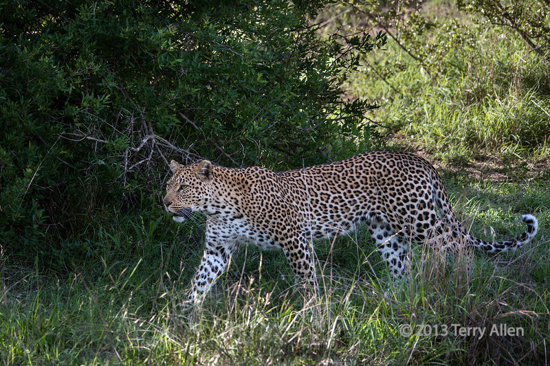 Leopard-stalking-her-prey,-Ngala,-South-Africa