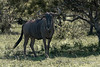Blue-wildebeest,-Ngala,-South-Africa