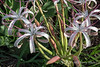 Wild-crinum-lily-(plus-a-few-flies),-Ngala,-South-Africa