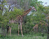 Mother-giraffe-with-baby-just-seen-through-bushes,-Ngala,-South-Africa