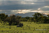 Sunset-with-the-Drakensberg-Mtns-and-a-resting-wildebeest,-Ngala,-South-Africa