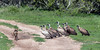 Jackel-running-the-vulture-gauntlet,-Ngala,-South-Africa