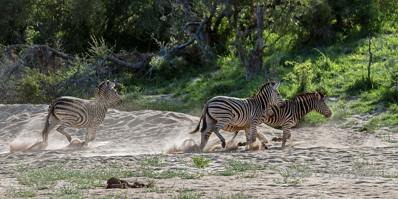 Zebras-running-across-dry-river-bed-spraying-sand-3,-Ngala,-South-Africa
