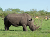 Fly-covered-white-rhinocerus,-Ngala,-South-Africa