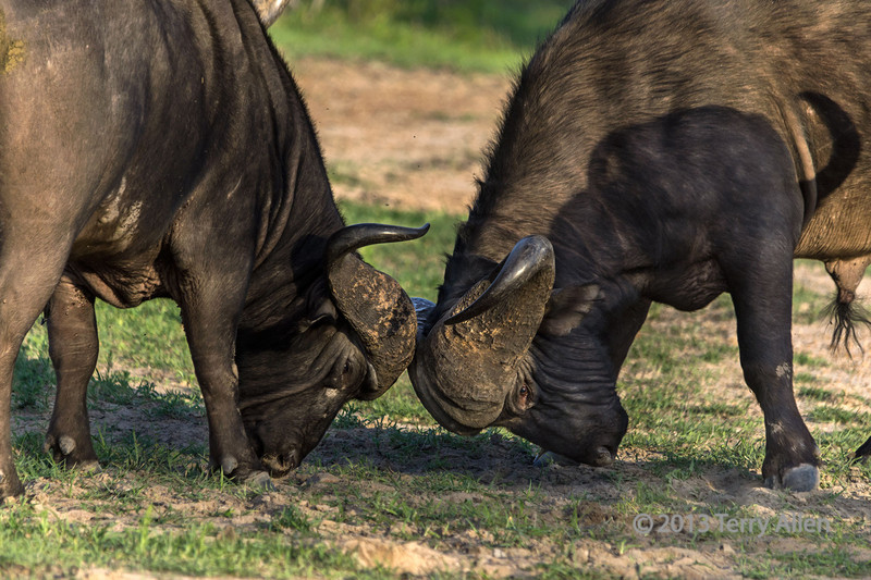 Cape-buffalo-comparing-horns,-Ngala,-South-Africa