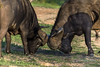 Cape-buffalo-comparing-horns,-Ngala,-South-Africa
