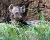 Spotted hyena pup peeking from den, Ngala, South Africa
