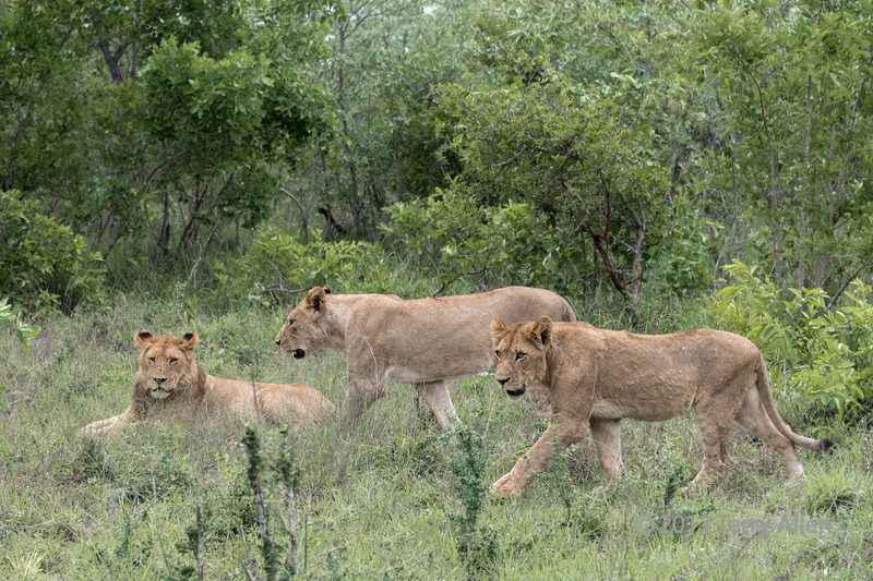 Lion pride in clearing-2, Ngala, South Africa