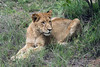 Young-lion-in-the-grass,-Ngala,-South-Africa