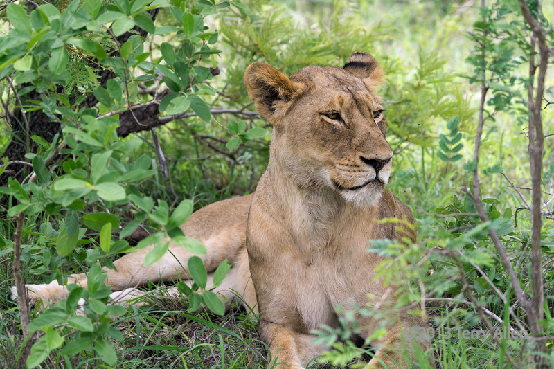 Lioness resting in the bush-1, Ngala, South Africa
