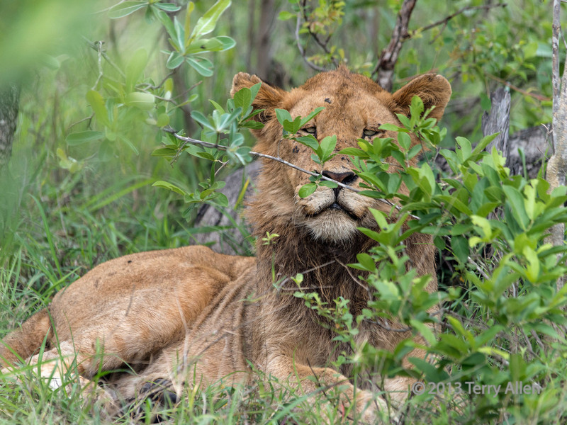 Young male lion peeking out from the bushes, Ngala, South Africa
