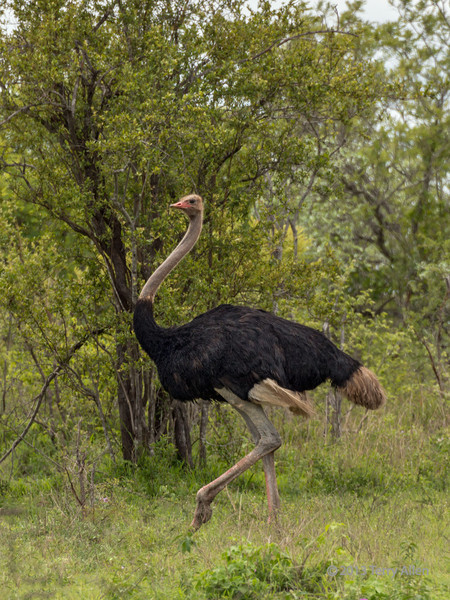Running ostrich, Ngala, South Africa