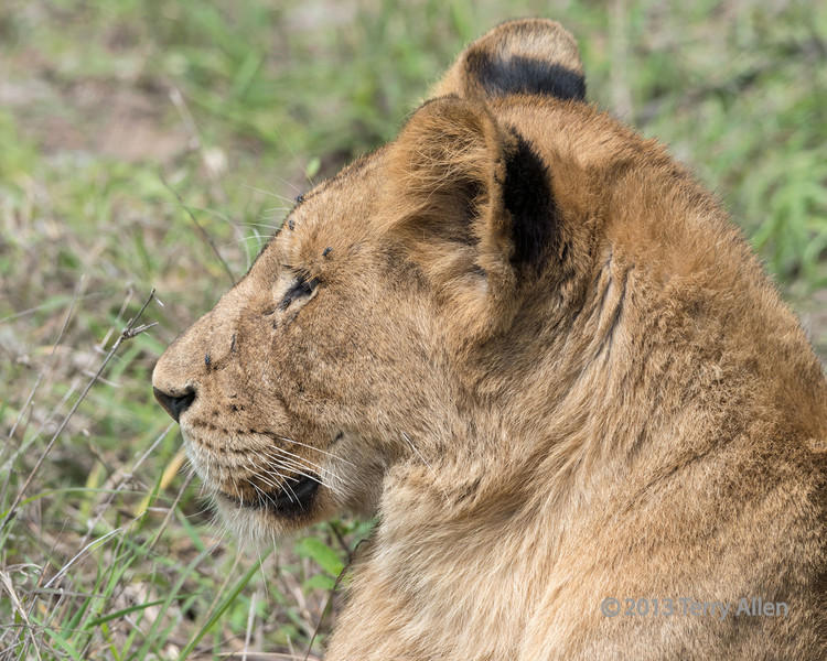 Lion profile with flies, Ngala, South Africa