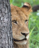 Lion peeking out from behind tree, Ngala, South Africa