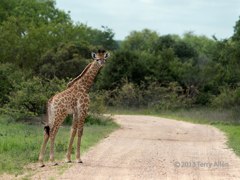 Baby giraffe with umbilical cord still attached, Ngala, South Africa