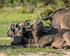 Resting-Cape-buffalo,-Ngala,-South-Africa