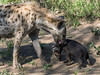 Spotted hyena and pup, Ngala, South Africa
