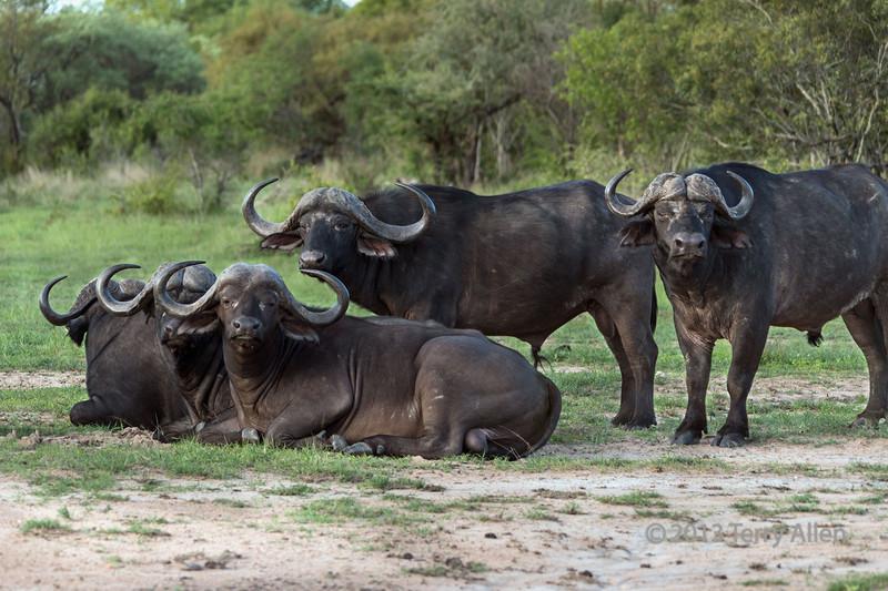 Herd-of-Cape-buffalo,-Ngala,-South-Africa