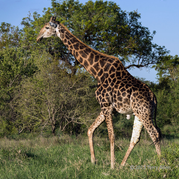 Large old male giraffe, Ngala, South Africa