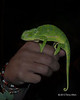 Cape dwarf chameleon at night, Ngala, South Africa