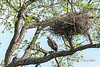 Martial eagle (Polemaetus bellicosus) near its large messy nest, Ngala, South Africa<br /> <br /> Status: near threatened