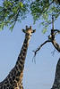 Large male giraffe with his head in the tree tops, Ngala, South Africa