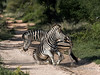 Battling zebras-6, Ngala, South Africa