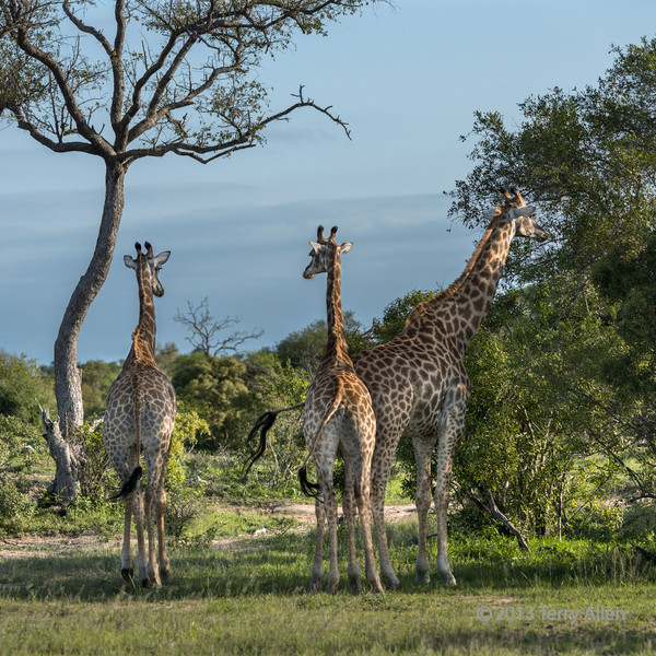 Large male and a couple of smaller female giraffes, Ngala, South Africa
