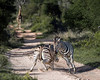 Battling zebras-8, Ngala, South Africa<br /> <br /> Note the giraffe in the distance, coming along the road