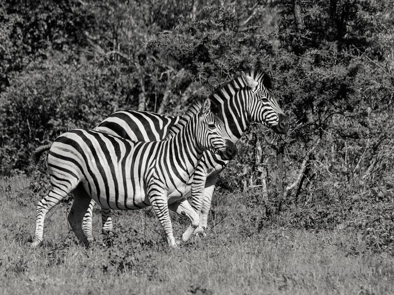 Zebra stallion with preganant mare (tritone), Ngala, South Africa