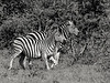 Zebra stallion with preganant mare (tritone), Ngala, South Africa