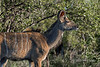 Young kudu in the bush, Ngala, South Africa