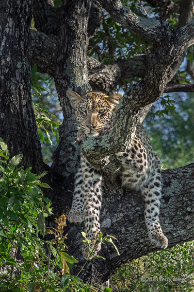 """""""These trees weren't made for sleeping"""" <br /> <br /> Young leopard trying to get comfortable in a Mopane tree, Ngala, South Africa.  Check out all of the legs hanging down."""