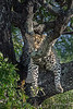 """These trees weren't made for sleeping"" <br /> <br /> Young leopard trying to get comfortable in a Mopane tree, Ngala, South Africa.  Check out all of the legs hanging down."