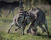 Battling zebras with flying soil, Ngala South Africa