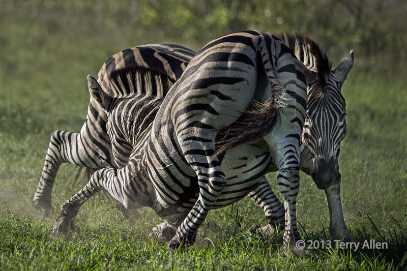 Battling zebras-15, Ngala South Africa