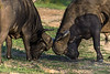 """Size matters: mine are bigger than yours!""<br /> <br /> Cape buffalo comparing horn size, Ngala, South Africa"