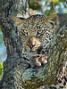 Yearling leopard cub portrait, Ngala, South Africa<br /> <br /> This little guy was up in the tree 'guarding' an impala carcass...note the blood on his paw (which could have been in a little better focus, but I had to compromise between depth of field and noise).  Shot November, 2012. His mom was in the bushes at the bottom of the tree, too stuffed full to move.  Thanks for your comments....much appreciated!!