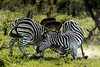 Battling zebras